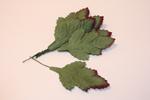 Листья HL5701